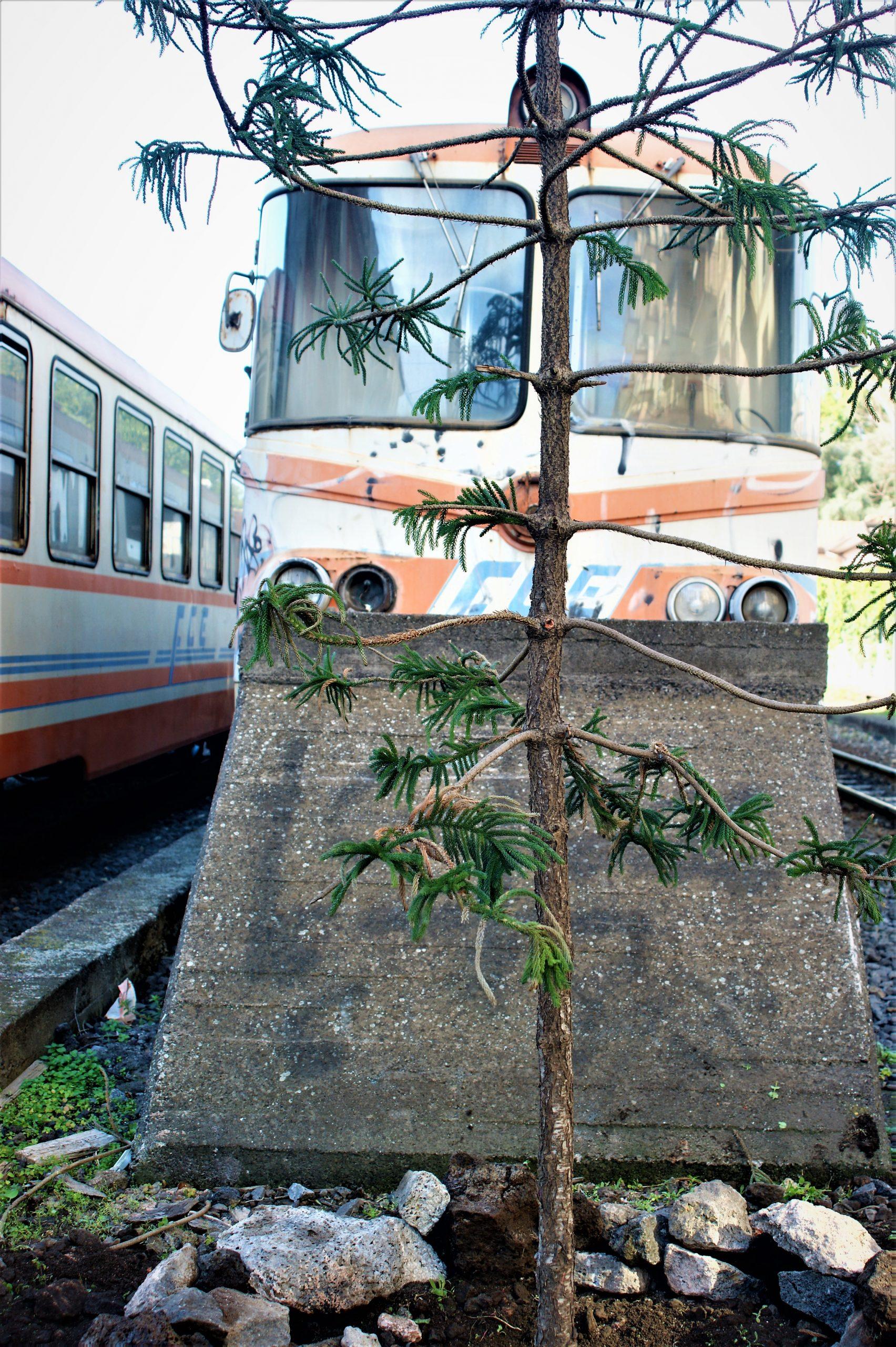 Araucaria, l'albero dei dinosauri in memoria di Francesca Terranova Speciale