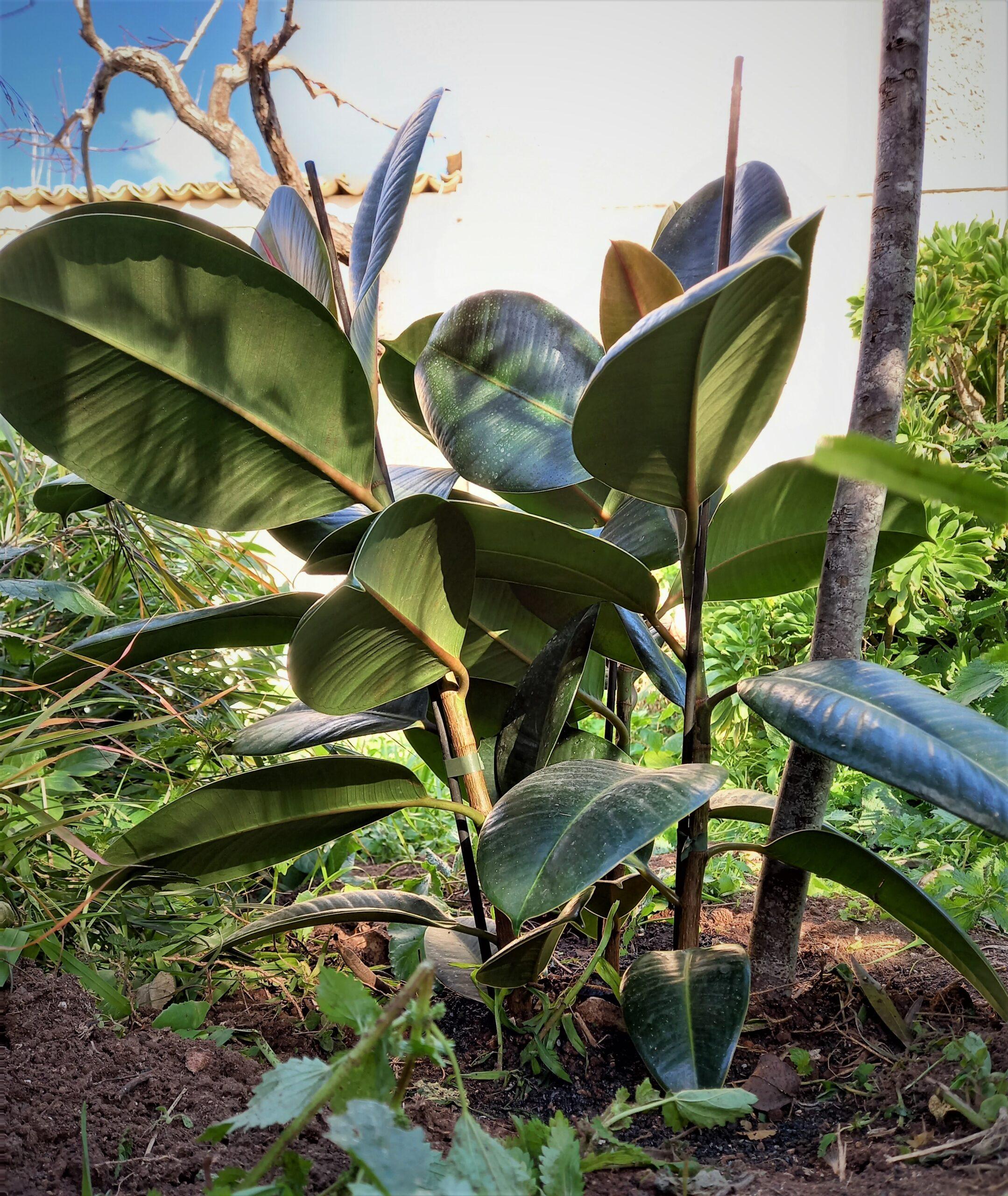 Ficus benjamin terre di martorina