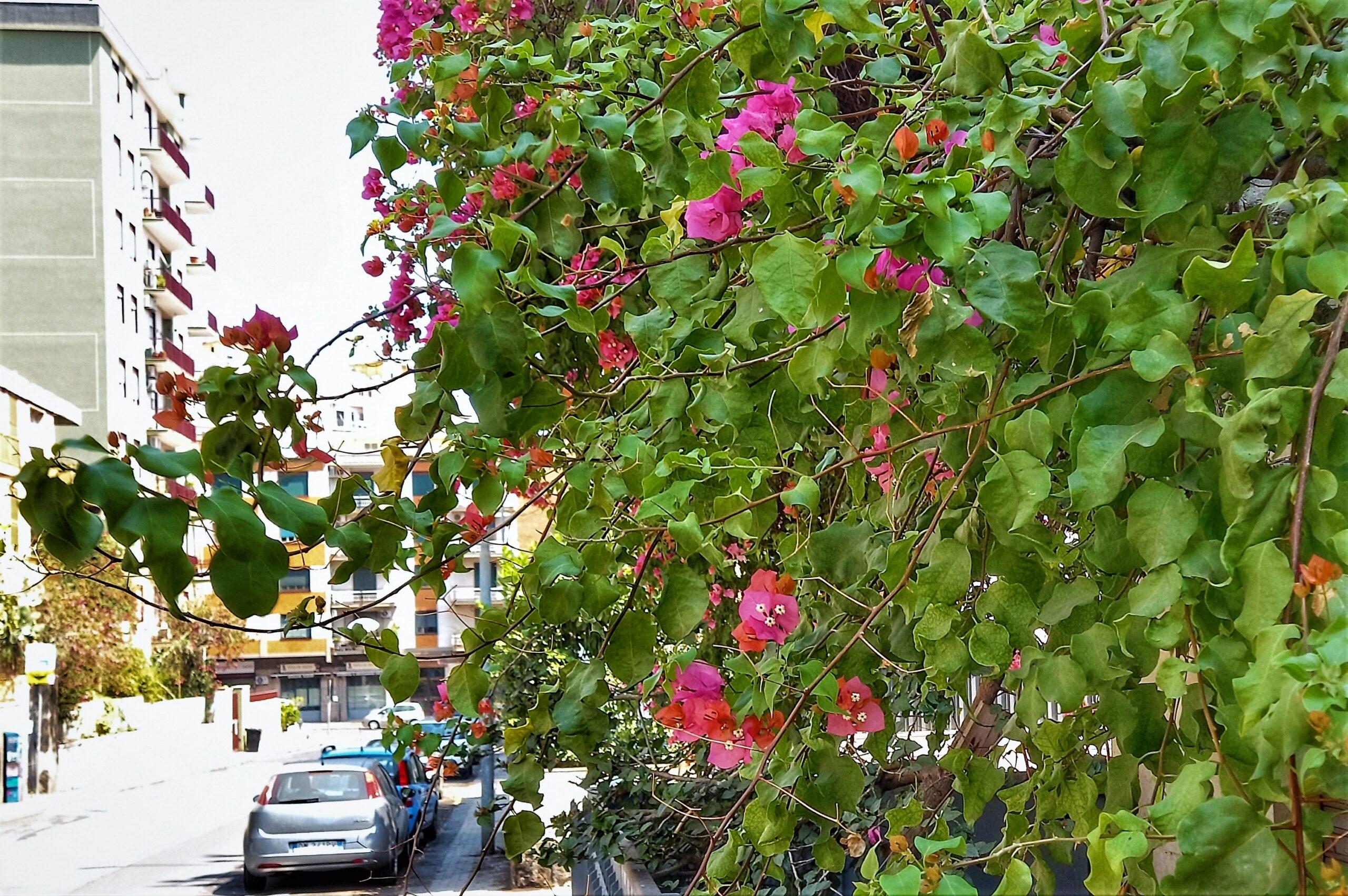 Bouganville, Via Proserpina Catania